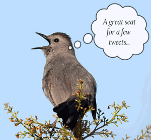 catbird tweeting sitting in the catbirds seat