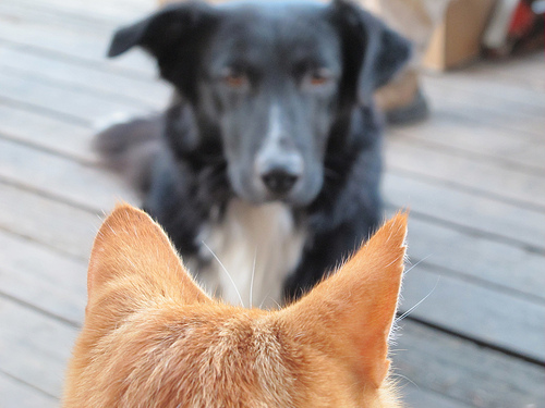 cat and dog competitors